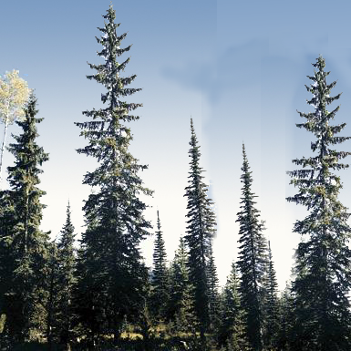 MCH for Fir and Spruce Beetles